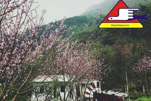Hoa Anh đào Sapa đẹp Tuyệt Vời